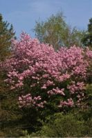 PrunusAccolade